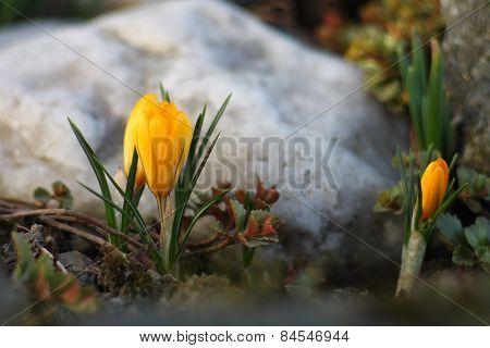 Spring flower yelow crocus in the garden