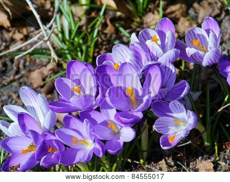 A close up of crocuses in spring