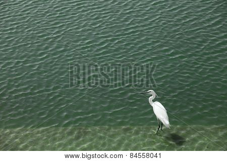 great white heron in shallow water
