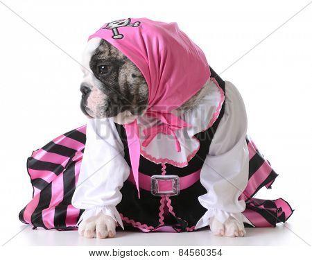dog dressed up like a pirate on white background - bulldog female