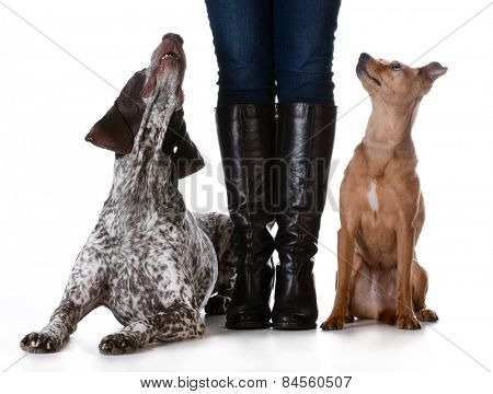 woman standing with mixed breed dog on one side and purebred dog on the other isolated on white background - german shorthaired pointer