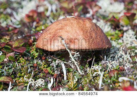 Mushroom in the tundra