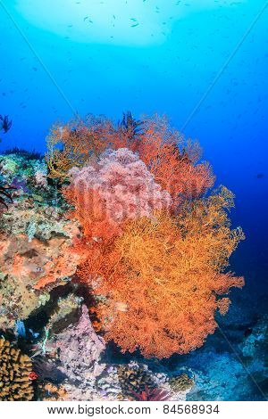 Colorful Sea Fans On A Tropical Reef
