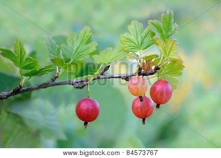 Gooseberry On Branch