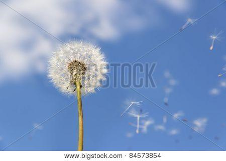 Dandelion Flying Pollen