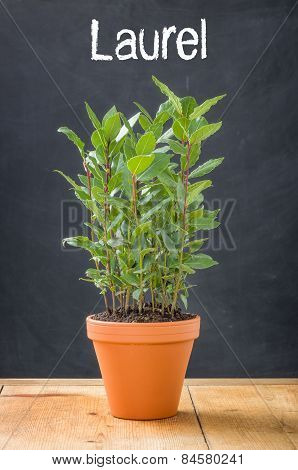 Laurel In A Clay Pot On A Dark Background