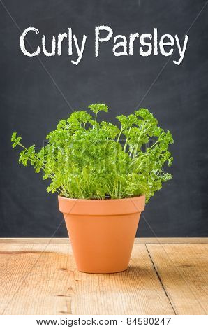 Curly Parsley In A Clay Pot On A Dark Background