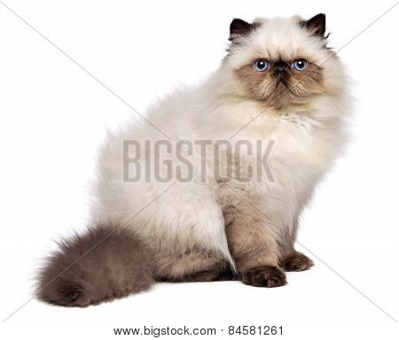Cute Persian Seal Colourpoint Kitten Is Sitting Sideways