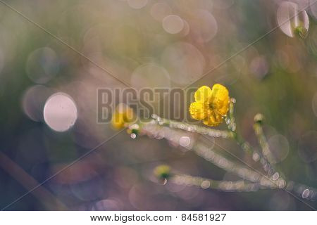 Buttercup Flowers At Sunset Macro