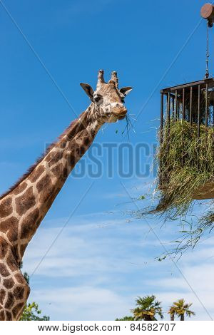 giraffe eating in zoo on a background of blue sky