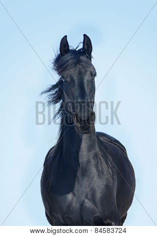 Portrait Of Moving Friesian Stallion