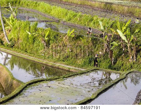 Rice Paddys With Water Irrigation In Bali
