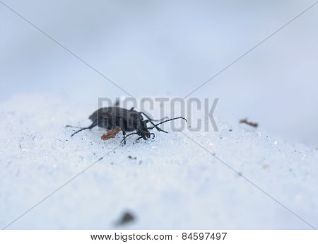 Carabus Beetle In Snow