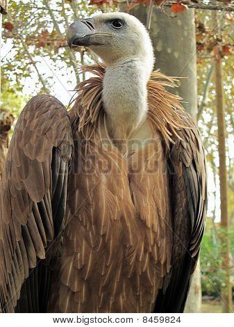 Griffon vulture, Gyps fulvus