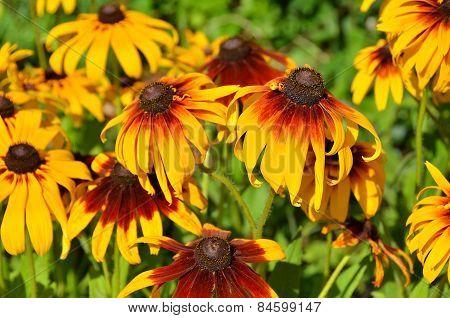 Yellow rudbeckia flower