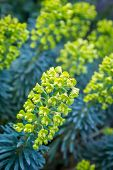 foto of lime-blossom  - Yellow to lime green Euphorbia in the garden