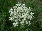 stock photo of petition  - Plant is weed symetrical and petit white in color growing wild in field - JPG