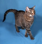 picture of blue tabby  - Tabby nice cat going on blue background - JPG