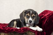 stock photo of puppy beagle  - An adorable little seven week old beagle puppy with focus on his face and copy space - JPG