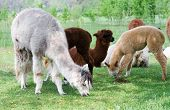 picture of alpaca  - Herd of alpacas  - JPG