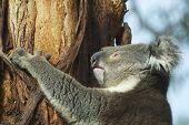 pic of eucalyptus trees  - Australian koala bear on eucalyptus tree - JPG