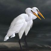 foto of aquatic animal  - The Great Egret is a saltwater and freshwater wader hunting fish frogs and small aquatic animals - JPG