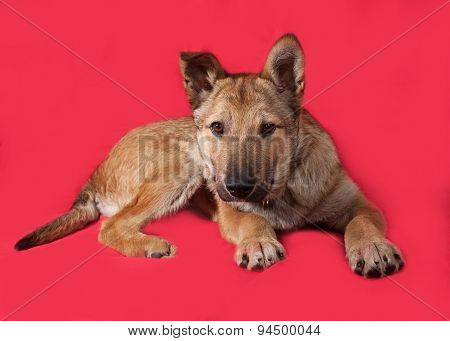 Red Puppy Lying On Red
