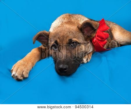 Red Puppy In Red Bandanna Lying On Blue