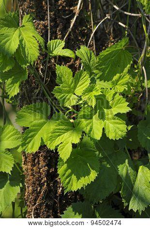 Wild Hop Foliage