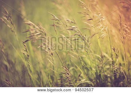 Vintage Photo Of Grass Ears On Meadow