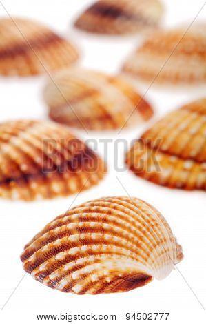 Rough Cockle Sea Shells