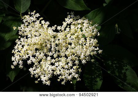 Blooming Elderflower - Sambucus Nigra