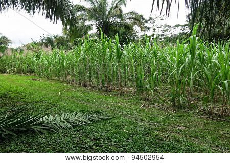 Sugar Cane Field Near A Sugar Mill