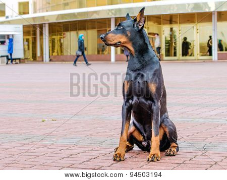 Doberman Pinscher left side.