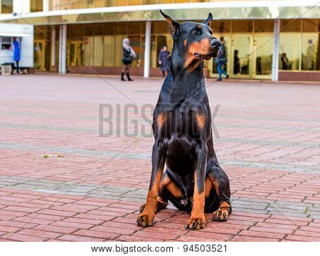 Doberman Pinscher right side.