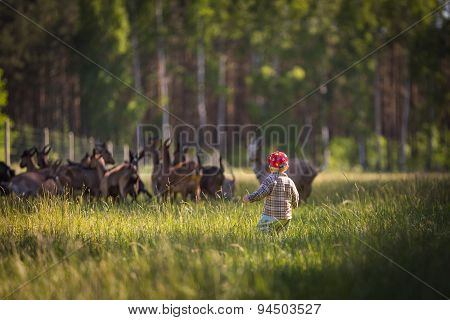Little Boy Chasing Goats On Pasture
