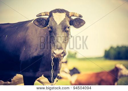 Vintage Photo Of Cow On Pasture
