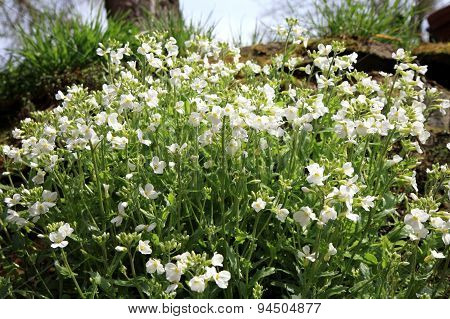 White Arabis alpina