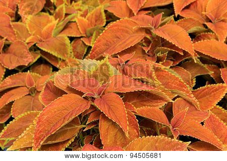 Colorful Coleus plant used as grund cover in garden