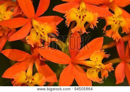 Crucifix orchid epidendrum radicans
