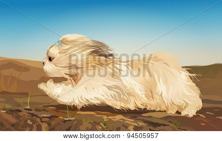 Shih tzu dog fast running on ground.
