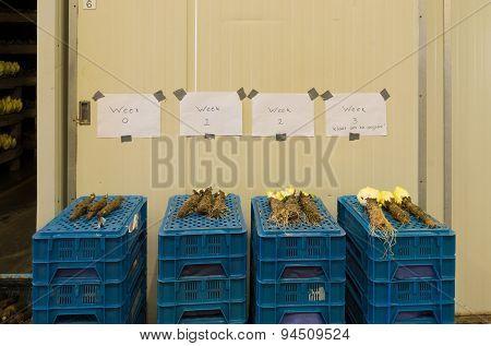 Chicory Factory