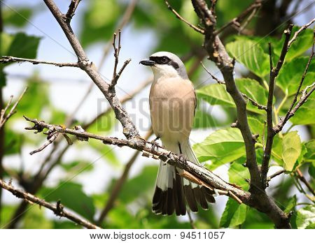 Red-backed Shrike In The Foliage Of A Tree. Male.
