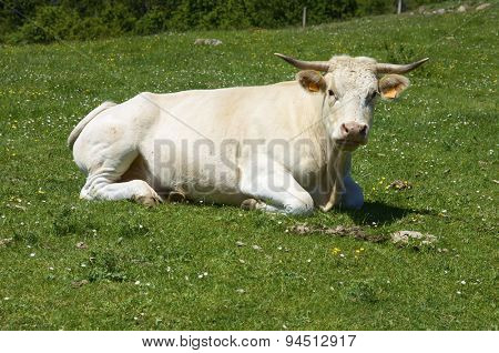Cow resting in a green meadow, Teruel Province, Aragon, Spain.