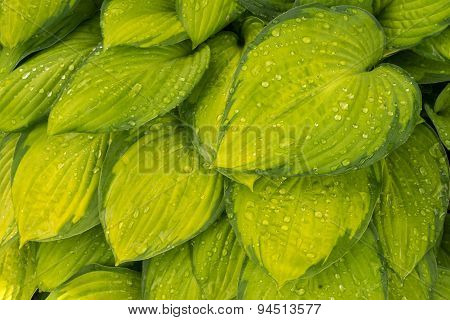 Yellow With Green Edge Rare Color Hosta Plant Leaves Close Up View, Wet Leaves With Water Drops.
