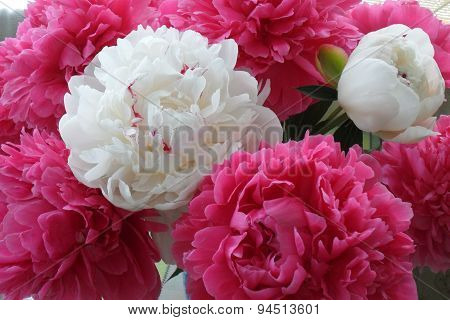 White And Pink Peony Flowers Close Up