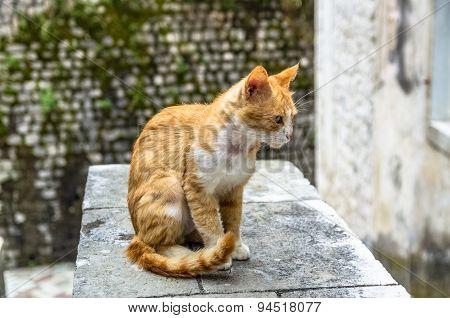 Red Cat In Kotor City, Montenegro
