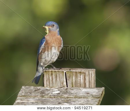 Eastern Bluebird with Green Worm