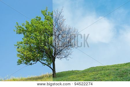 Lonely apricot tree on a hill