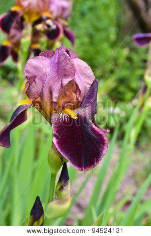 Iris Flower.